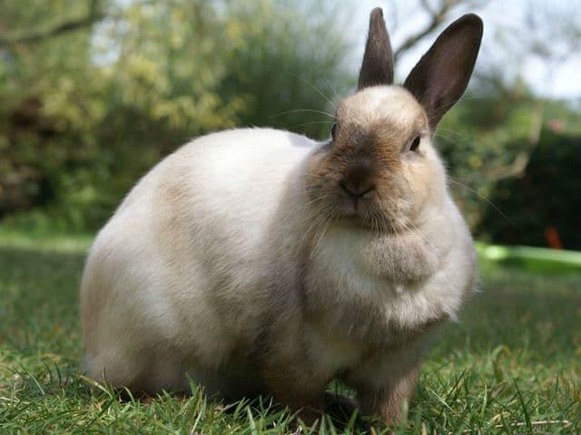 lapin-blanc
