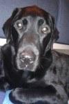 Daiko, l\'un des 2 Labradors de mes parents