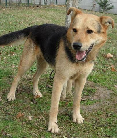 chien-croise-berger-allemand-adopter-60846-2